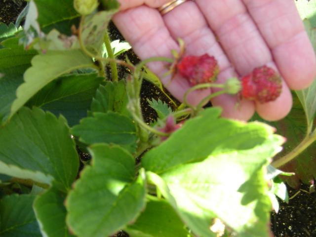 Bush Bean Recommendation 02310
