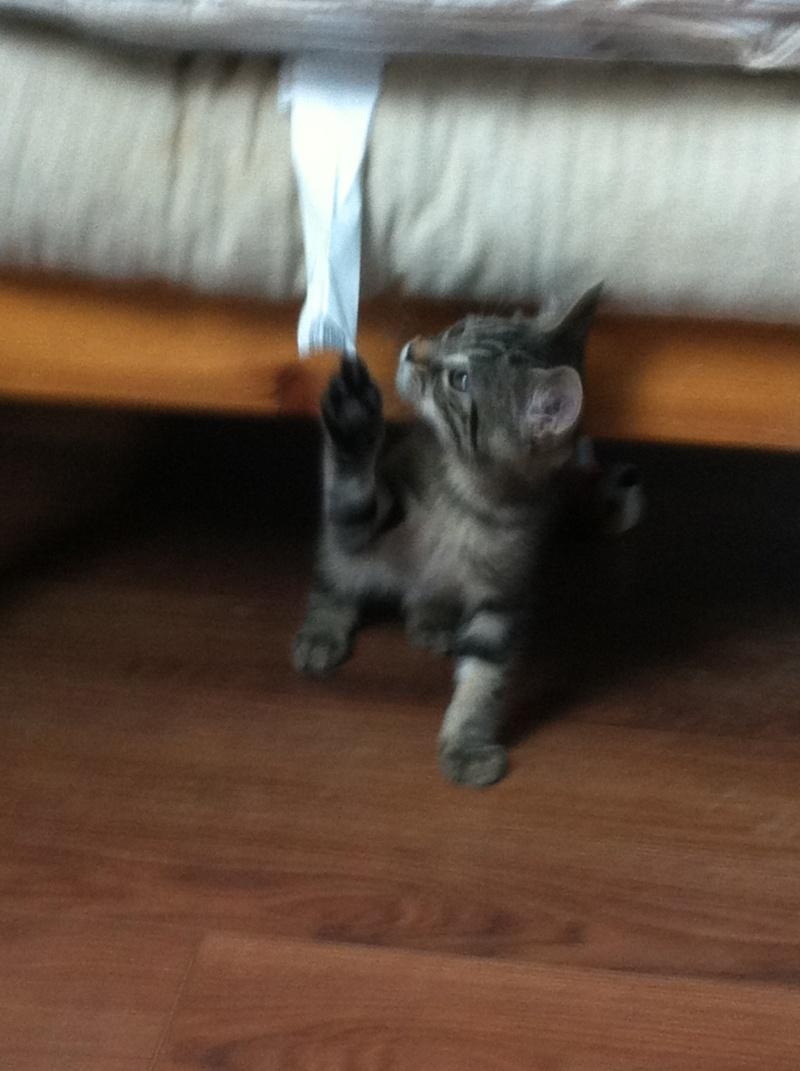 Harold type chaton européen 2 mois  adopté  par COLETTE ( 44 ) Img_0910