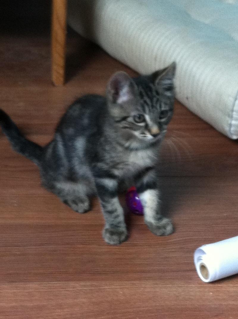 Harold type chaton européen 2 mois  adopté  par COLETTE ( 44 ) Img_0911