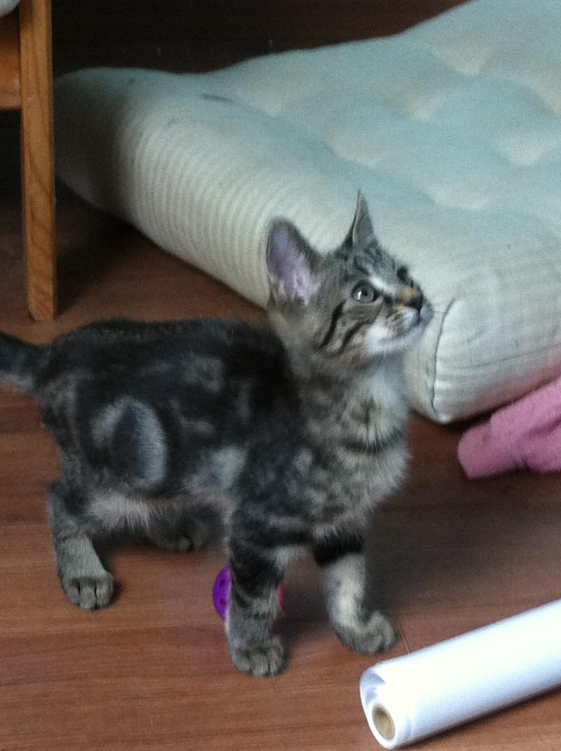 Harold type chaton européen 2 mois  adopté  par COLETTE ( 44 ) Img_0912