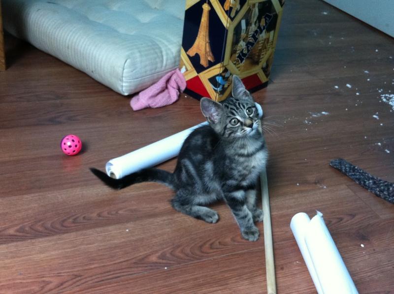 Harold type chaton européen 2 mois  adopté  par COLETTE ( 44 ) Img_0913