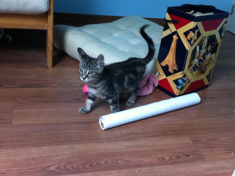 Harold type chaton européen 2 mois  adopté  par COLETTE ( 44 ) Img_0914