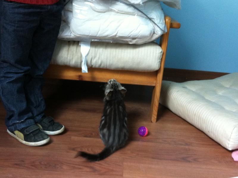 Harold type chaton européen 2 mois  adopté  par COLETTE ( 44 ) Img_0915