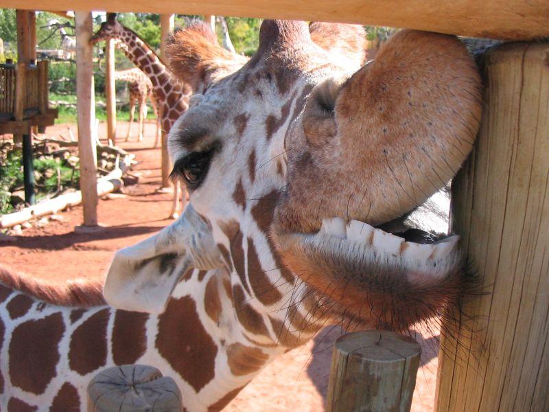 giraffes - Page 3 24330711