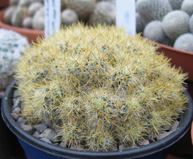 Mammillaria prolifera? Img_9211