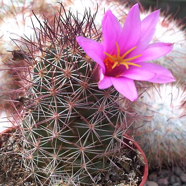 Another mystery Mammillaria... microcarpa perhaps Mammil12