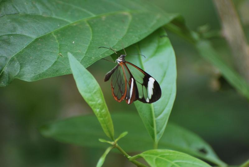 Papillons transparent [Greta otto] Dsc_0210