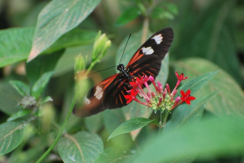 papillon exotique rouge et noir à identifier Dsc_0211