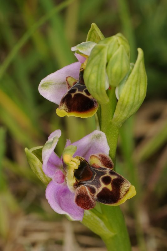 Ophrys santonica (Ophrys de Saintonge) Orchid50