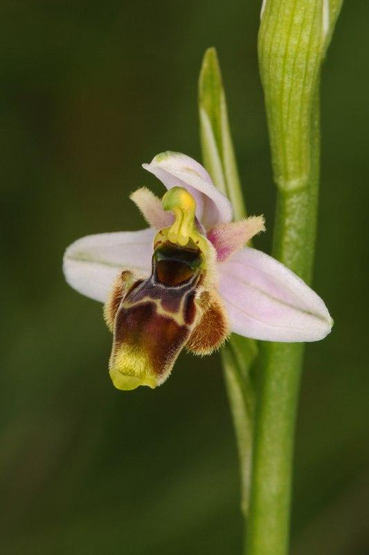 Ophrys santonica (Ophrys de Saintonge) Orchid57