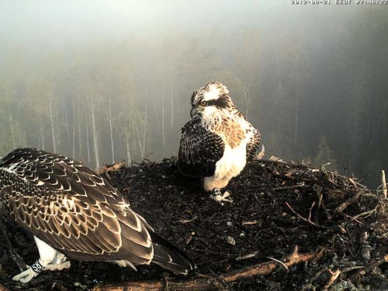 Osprey's nest in Estonia livestream 0e7-4610