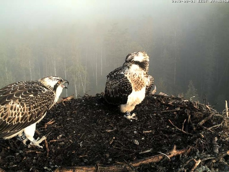 Osprey's nest in Estonia livestream 0e7-4611