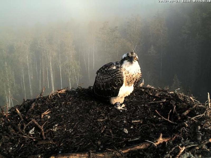 Osprey's nest in Estonia livestream 0e7-5010