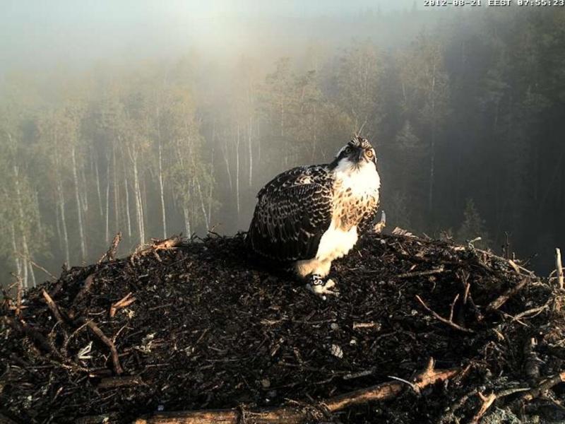 Osprey's nest in Estonia livestream 0e7-5210
