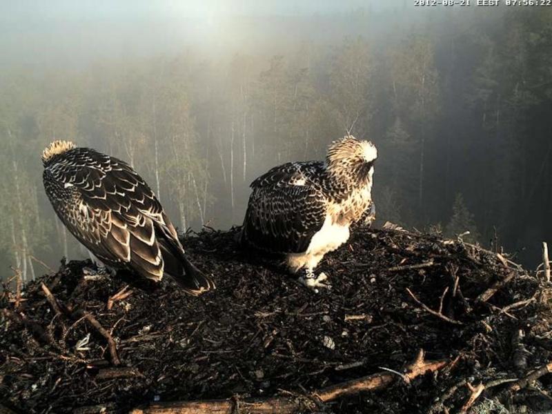 Osprey's nest in Estonia livestream 0e7-5410