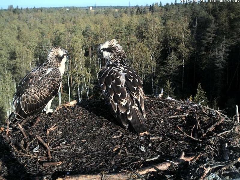 Osprey's nest in Estonia livestream 0e8-2010