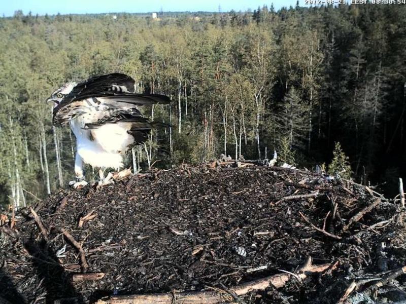 Osprey's nest in Estonia livestream 0e8-3510