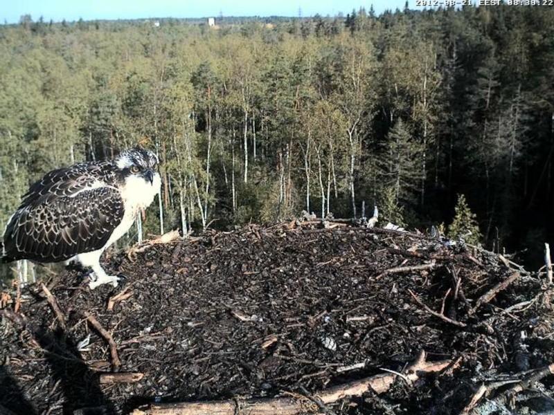 Osprey's nest in Estonia livestream 0e8-3710