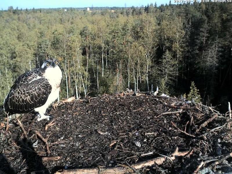 Osprey's nest in Estonia livestream 0e8-3810
