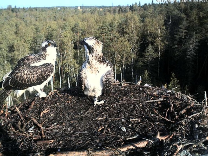 Osprey's nest in Estonia livestream 0e810