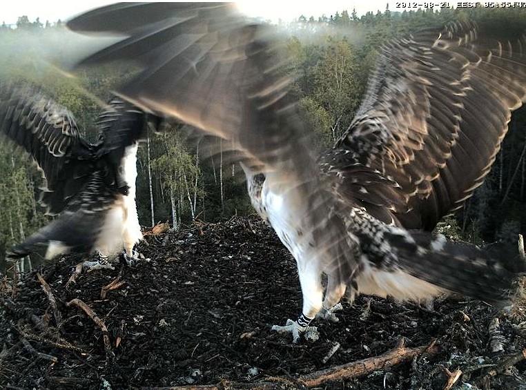 Osprey's nest in Estonia livestream 78286710
