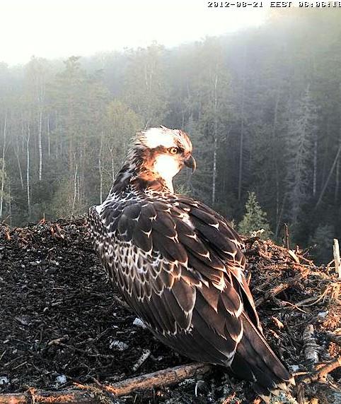 Osprey's nest in Estonia livestream 78286711