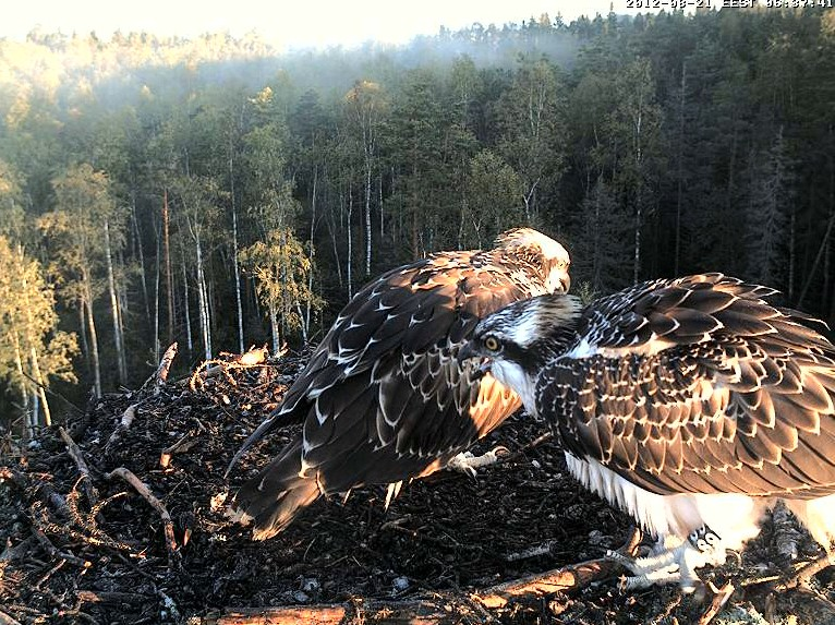 Osprey's nest in Estonia livestream 78286810