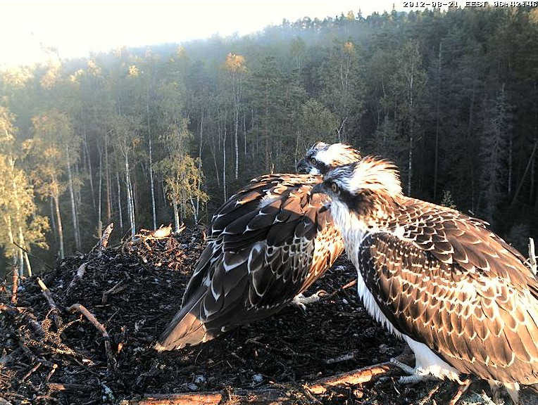 Osprey's nest in Estonia livestream 78286811