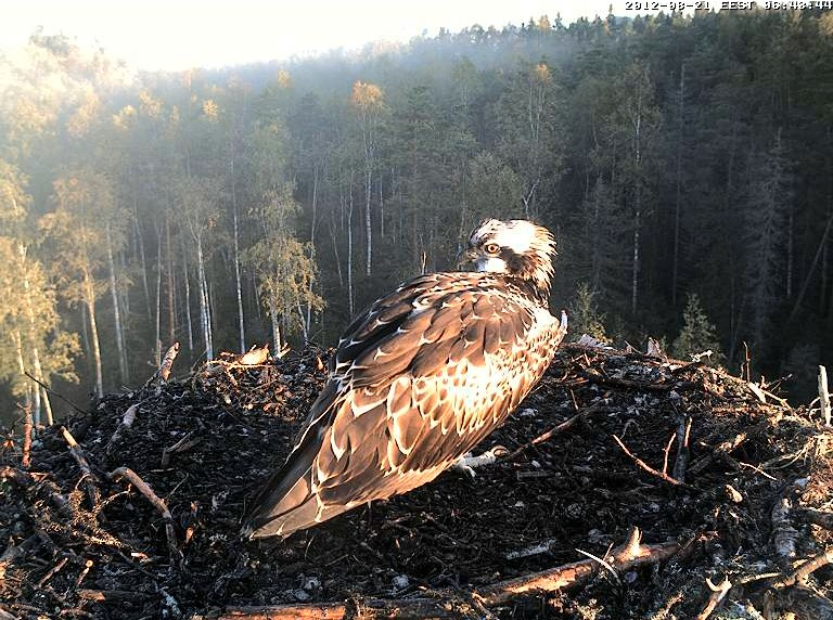 Osprey's nest in Estonia livestream 78286812