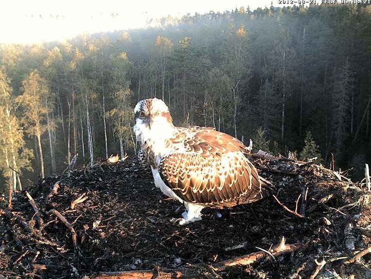 Osprey's nest in Estonia livestream 78287810