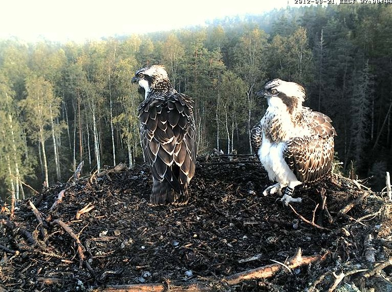 Osprey's nest in Estonia livestream 78287811