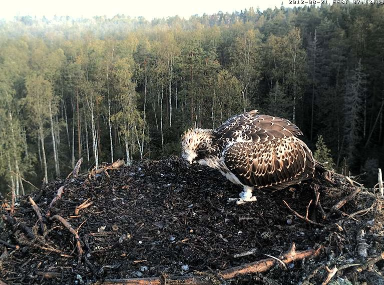 Osprey's nest in Estonia livestream 78287812