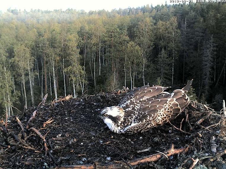 Osprey's nest in Estonia livestream 78287813