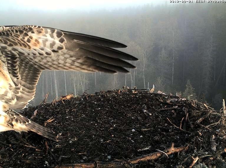 Osprey's nest in Estonia livestream 78288310