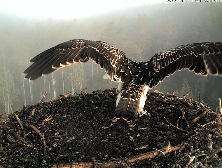 Osprey's nest in Estonia livestream 78289010