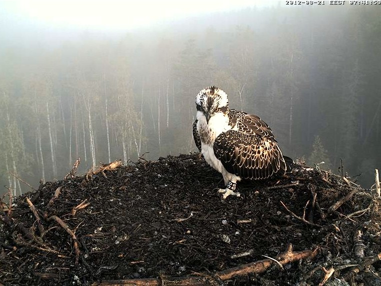Osprey's nest in Estonia livestream 78289011