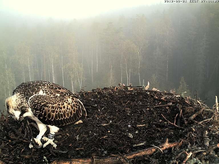 Osprey's nest in Estonia livestream Vlcsna28