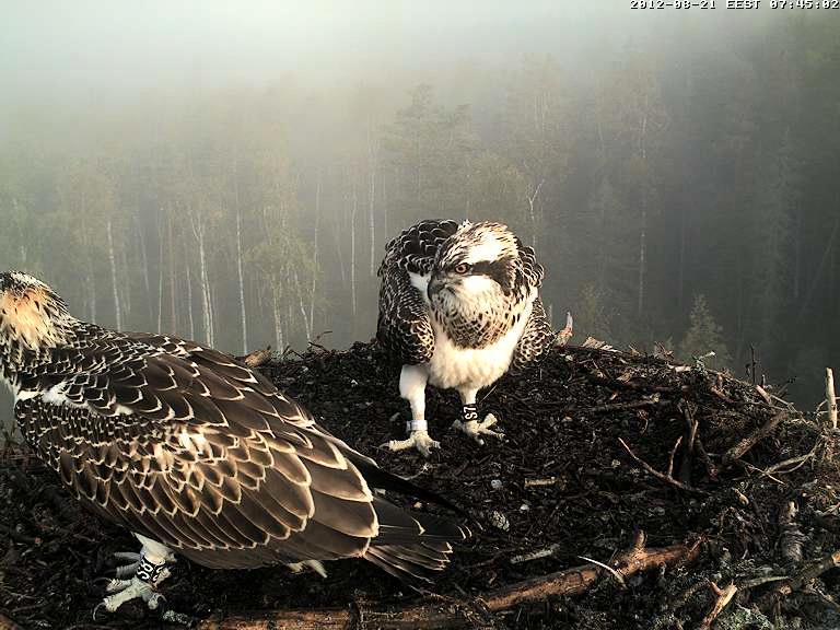 Osprey's nest in Estonia livestream Vlcsna29