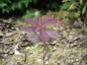 ligneuse ou pas..? Résolu. Euphorbia dulcis' Chameleon' Dsc05212