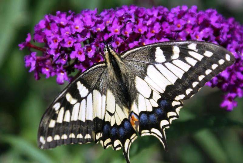 Papillon ouvert Dsc02911