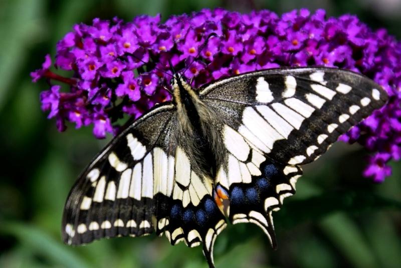 Papillon ouvert Dsc02914