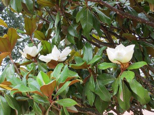 Magnolia grandiflora 1_dabu10