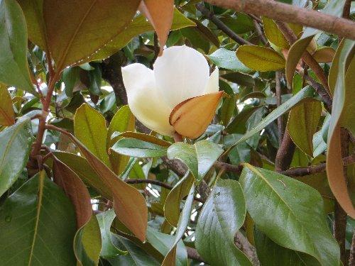 Magnolia grandiflora 2_dabu10