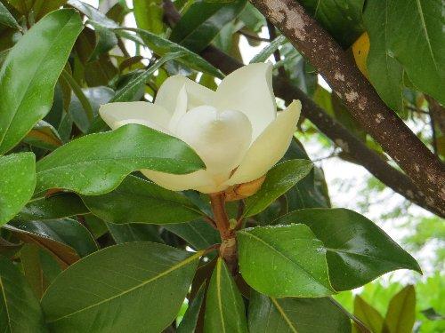 Magnolia grandiflora 3_bis_11