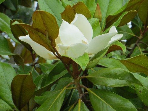 Magnolia grandiflora 4_dabu10