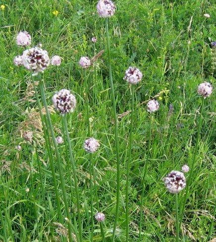 Allium sphaerocephalon - ail à tête ronde Ail_co10