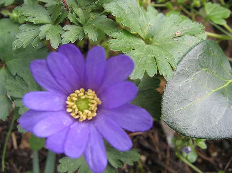 Anemona blanda Anamon13