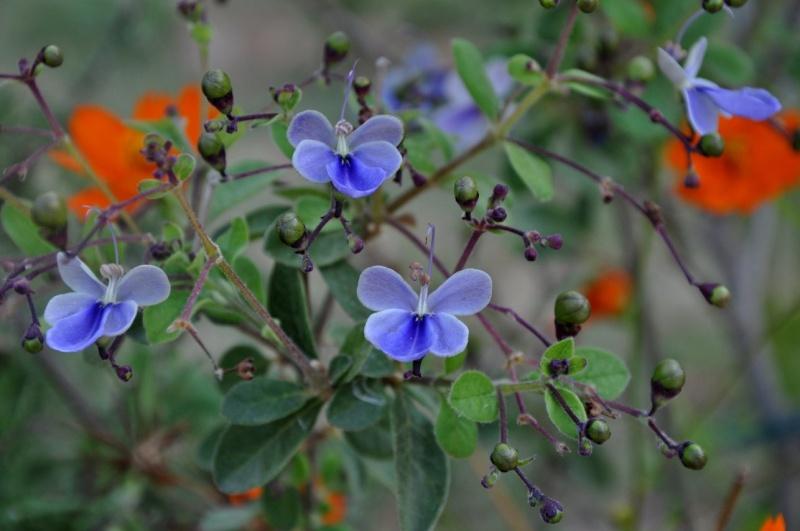 mon Clérodendron ougandais à fait ses premières fleurs - Page 2 Aoat_218