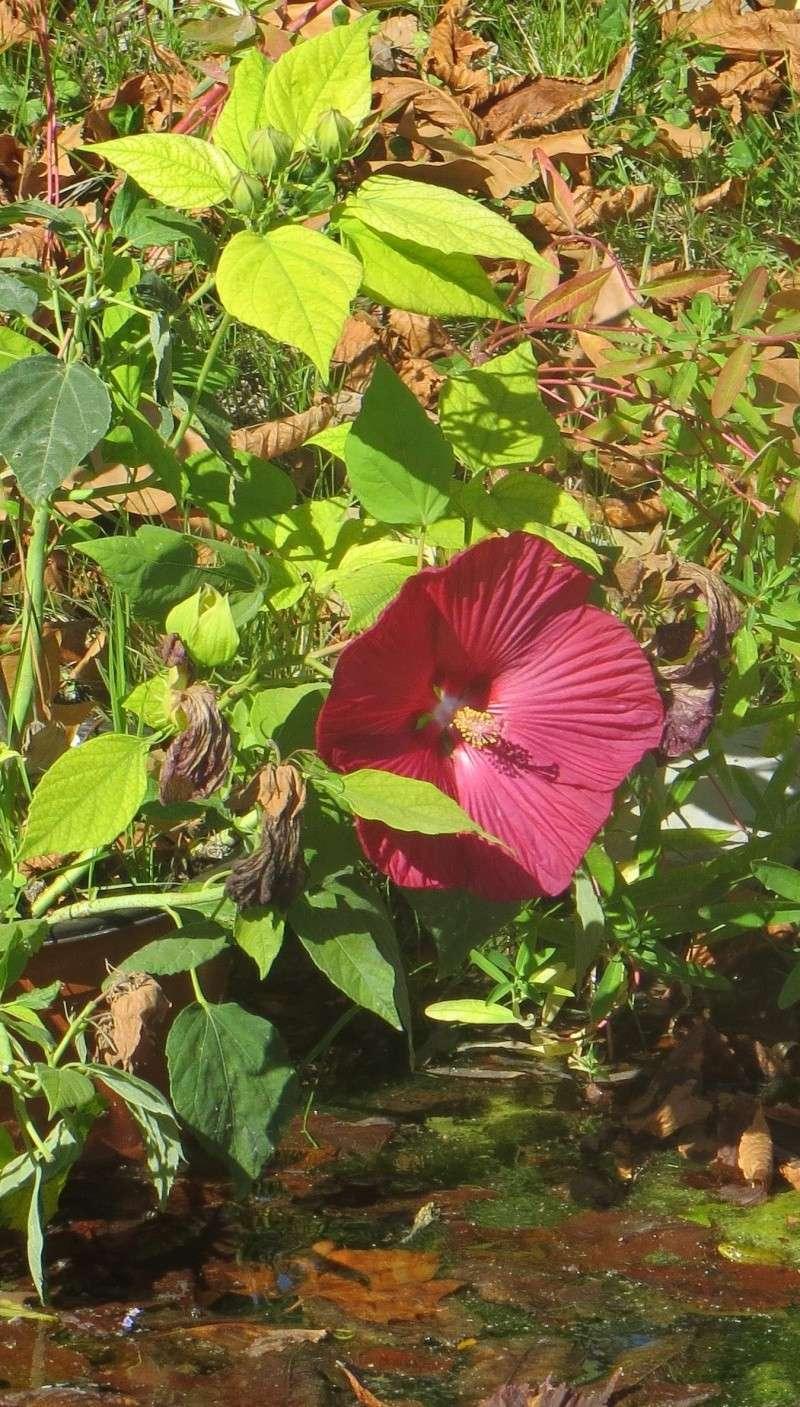 hibiscus a fleur g u00e9ante hibiscus moscheutos cv disco