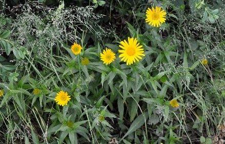 Buphthalmum salicifolium - buphtalme, oeil de beuf Copy_116